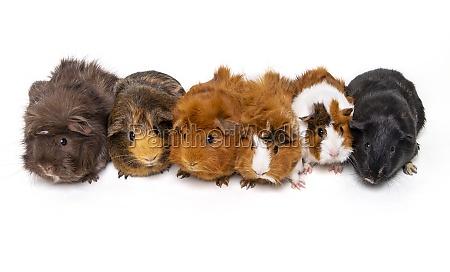 a herd of guinea pigs cavia