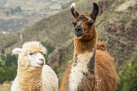 two llamas lama glama side by