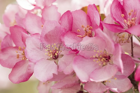close up of pink apple blossoms