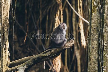 balinese long tailed monkey macaca fascicularis