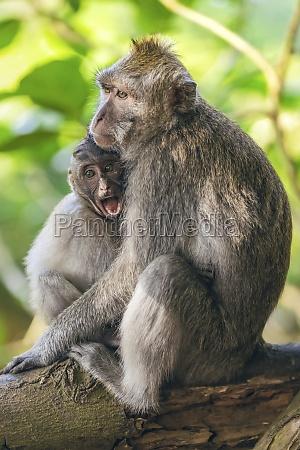balinese long tailed monkeys macaca fascicularis