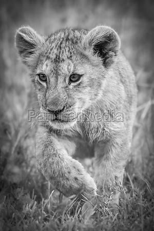 a lion cub panthera leo walks