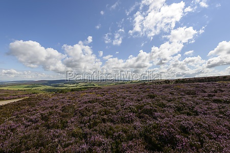 heather field and hilly country exmoor