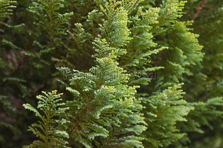 pea cypress tree branches