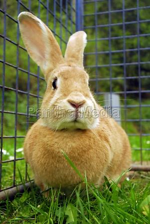 rabbit or hare in livestock farming
