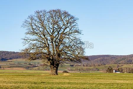 a big old oak in the
