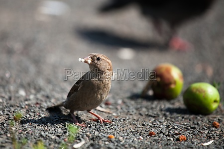 house sparrow keeps bread in its
