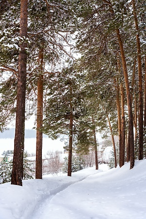 snow covered trees in a pine