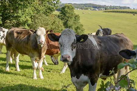 group of cows pasturing in cornwall