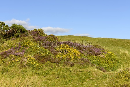 heather and yellow flowers in the