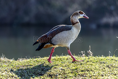 egyptian goose in a meadow