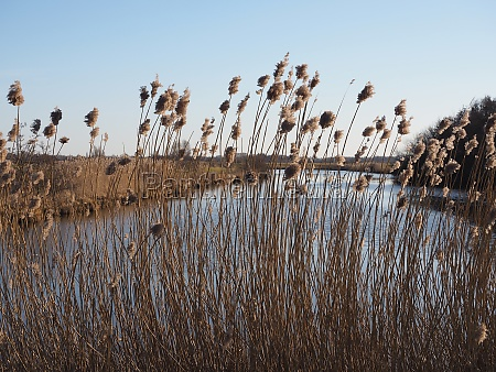 river reed shore