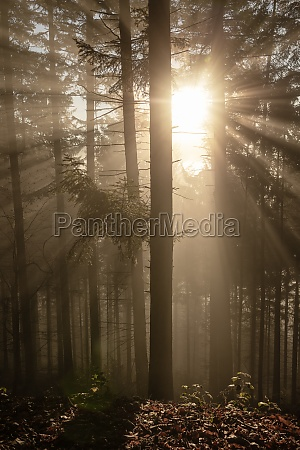 forest tree with back light