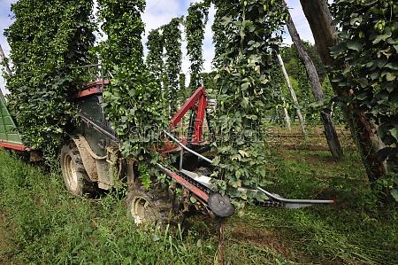 hop harvest or hop picking with