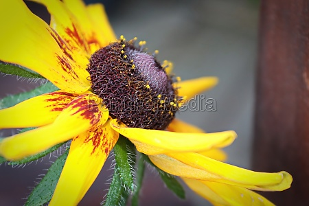 side view of a rudbeckia flower