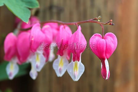 macro view of bleeding heart flowers