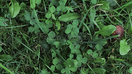 clover on a green meadow