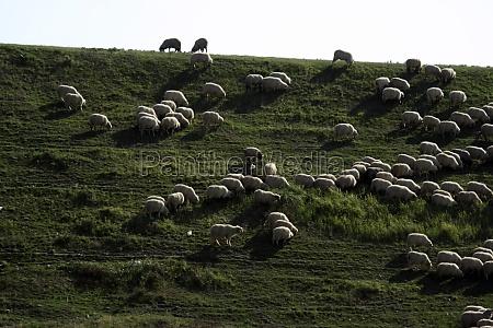 sheep breeding and nomadic shepherds in