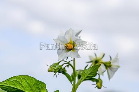 flowers of potatoes on a bush