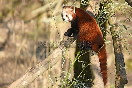 roter panda im zoo salzburg OEsterreich
