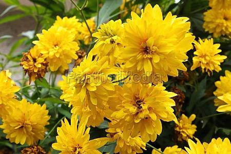 masses of false sunflower flowers blooming