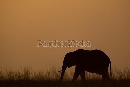 african bush elephant crossing horizon at