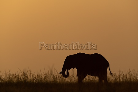 african bush elephant eating grass at