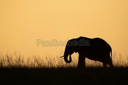 african bush elephant eats grass on