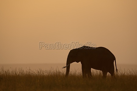 african bush elephant stands silhouetted on