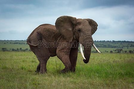 african bush elephant walks through grassy