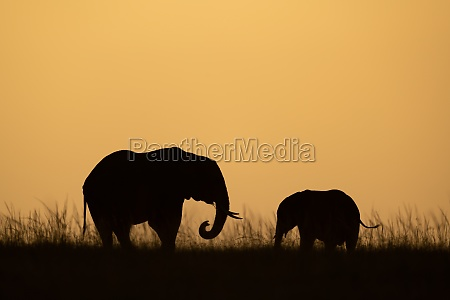 african bush elephant with calf at