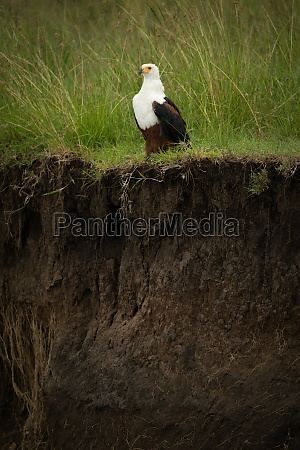 african fish eagle perches on grassy