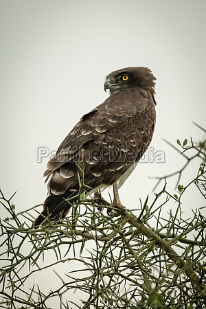 black chested snake eagle perched in