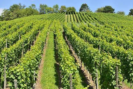hilly vineyard 8 stuttgart