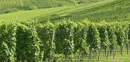 hilly vineyard 12 stuttgart