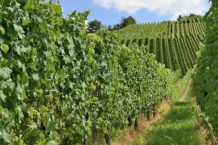 hilly vineyard 16 stuttgart