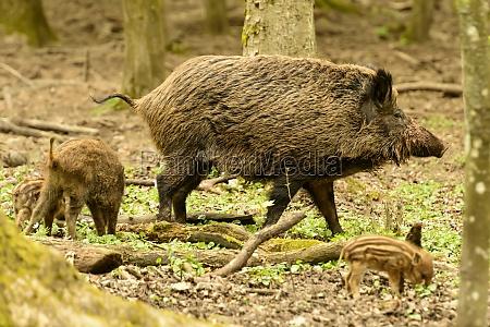 boars graze in city park stuttgart