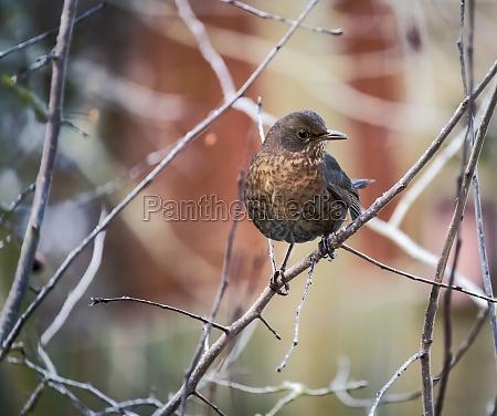 blackbird sitting on twig