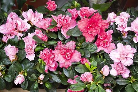 hybrid pink azalia or rhododendron hybridum