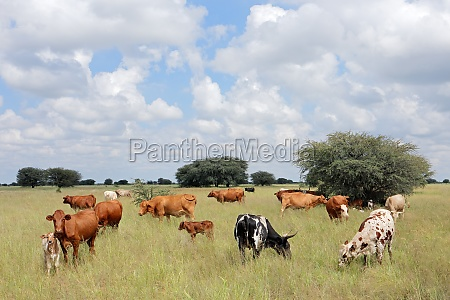 free range cattle on a rural