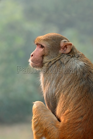 rhesus macaque monkey india