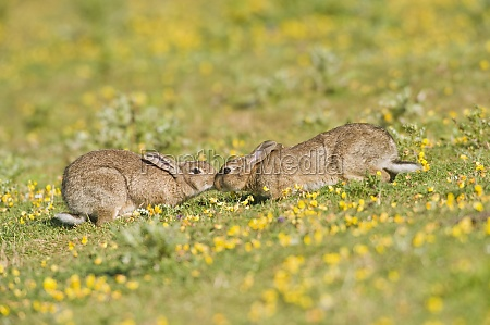 european rabbit on coastal grassland north