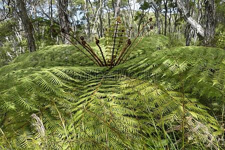 huge fern plant