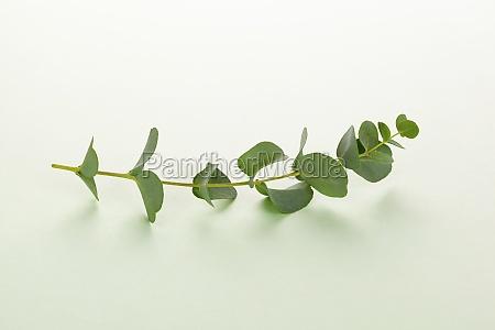 eucalyptus twig on green background