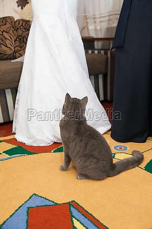 wedding beautiful gray cat looking at