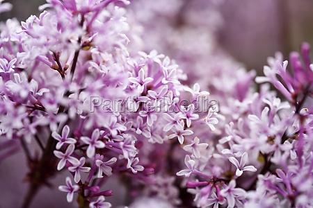 common lilac blossom beautiful purple tone