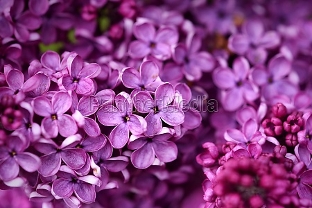 dark purple common lilac blossom beautiful