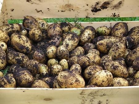 frisch geerntete kartoffeln in einer holzkiste