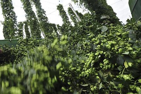 hop harvest or hop picking