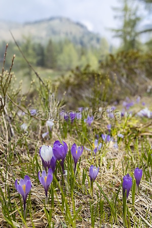 early spring blooming meadow with crocus